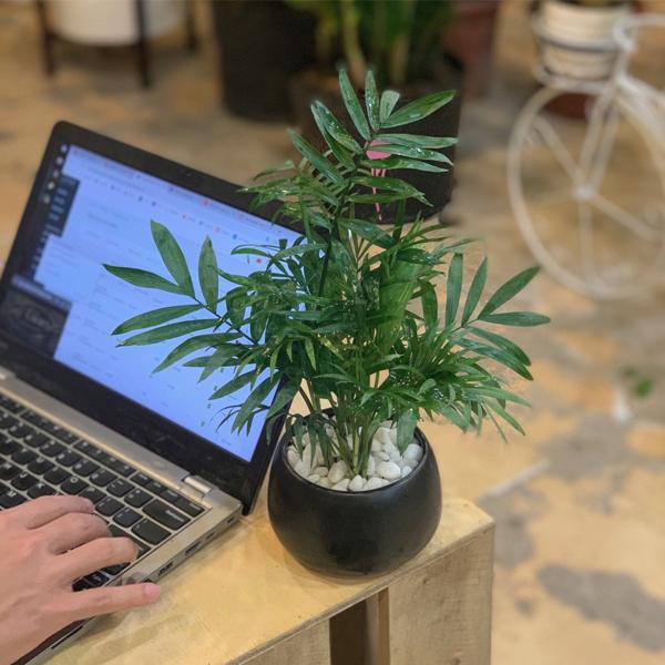 Mệnh Mộc nên để cây gì trên bàn làm việc - cây cau tiểu trâm