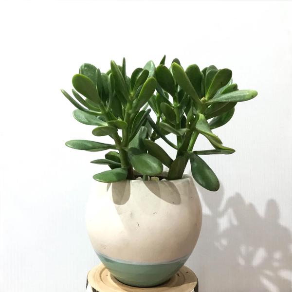 Mệnh Mộc nên để cây gì trên bàn làm việc - cây ngọc bích